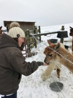 Feeding an alpaca